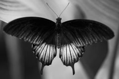 Closeup of a beautiful black and white butterfly resting on a leaf. Against a blurred background royalty free stock photos