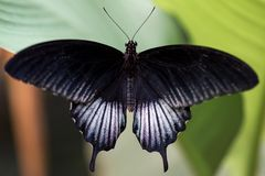 Closeup of a beautiful black and white butterfly resting on a leaf. Against a blurred background royalty free stock images