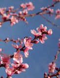 Closeup of beautiful blooming peach Stock Images