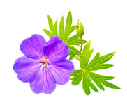 Closeup of beautiful blooming purple Bloody Crane's-bill  Gerani Royalty Free Stock Photography