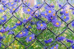 Closeup beautiful blue flowers on background of old rusty wire mesh fence stock photo