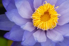 Closeup beautiful blue lotus with yellow pollen. In swamp in park Royalty Free Stock Photo