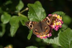 Macro Buckeye Butterfly on Lantana Blooms stock image