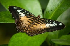 Beautiful butterfly on tropical leaves in a green hou. Closeup of beautiful butterfly on tropical leaves in a green house stock photo