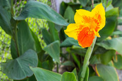 Closeup of a beautiful canna Lily Stock Images
