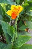 Closeup of a beautiful canna Lily Stock Photography