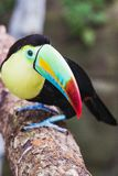 Closeup of a beautiful and colorful keel billed toucan stock image