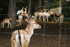 Closeup of a beautiful deer in an animal park with sheep and other animals in the background. A closeup of a beautiful deer in an animal park behind a fence with royalty free stock photos