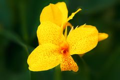 Closeup of beautiful delicate yellow iris flower. Dark green blurred leaves in background stock photo