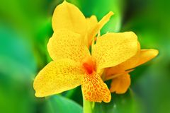 Closeup of delicate yellow iris flower. Closeup of beautiful delicate yellow iris flower, green blurred leaves in background royalty free stock photos