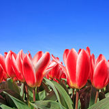 Closeup of Beautiful Dutch tulip flowers in field Royalty Free Stock Photography