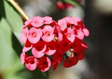 Closeup of beautiful Euphorbia Milii flowers Royalty Free Stock Photo