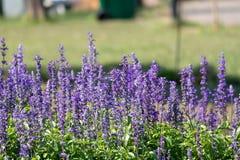 Closeup beautiful fernleaf lavender flower royalty free stock photo
