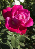 Closeup of a beautiful flower rose Royalty Free Stock Images