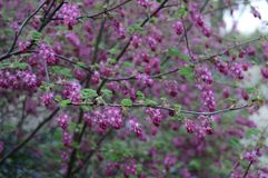 Delicate early flowers of Ribes sanguineum royalty free stock photos