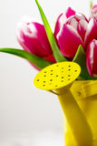 Closeup of Beautiful Fresh Purple Tulips in Yellow Watering Can. Spring, Summer or Holiday Concept Stock Photography