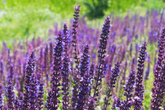 Closeup on beautiful gentle lavender flower Royalty Free Stock Image