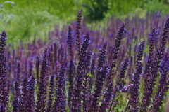 Closeup on beautiful gentle lavender flower on blurry purple background Stock Image