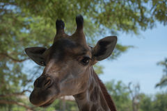 Closeup of a beautiful giraffe elegant in the zoo Royalty Free Stock Images