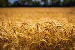 Amber Waves of Grain. Closeup of beautiful golden wheat field on a sunny summer day with clear blue sky, LaPorte, Indiana Stock Photos