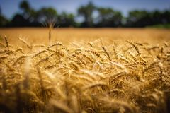 Amber Waves of Grain. Closeup of beautiful golden wheat field on a sunny summer day with clear blue sky, LaPorte, Indiana Royalty Free Stock Photo
