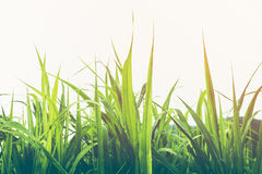 Closeup beautiful green growing grass with sunlight. Bright nature background. Vintage effect tone Royalty Free Stock Photos