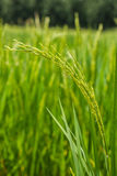 Closeup beautiful green rice plant in rice field. Stock Photo