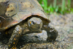 Closeup of beautiful green turtles head standing in natural habitat with right eyes clearly visible towards camera Royalty Free Stock Photos