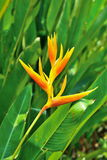 Closeup of beautiful Heliconia flower stock photo