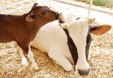 Closeup of a beautiful Holstein cow with her calf Stock Image