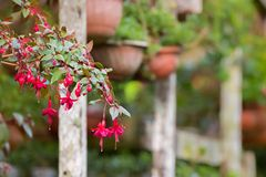 Beautiful home grown Fuchsia flowers in vibrant pink hanging fro. Closeup of beautiful home grown Fuchsia flowers in vibrant pink hanging from pot with blurred royalty free stock image