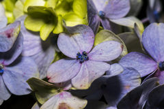 Closeup of beautiful Hydrangea Macrophylla flower in a garden. Hydrangea macrophylla is a species of flowering plant in the family Hydrangeaceae. It is a Stock Image