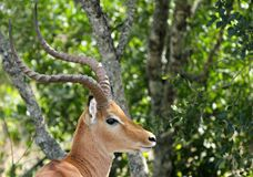 Closeup of a beautiful Impala Royalty Free Stock Images