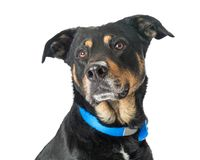 Closeup Beautiful Lare Black and Tan Dog. Closeup photo of a beautiful  large breed black and tan mixed breed dog gazing off to the side Royalty Free Stock Photography