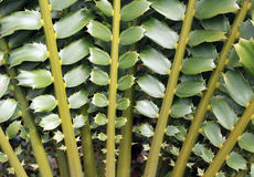 Closeup of beautiful leaves of Zululand Cycad Stock Photography