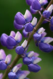 Closeup of beautiful lupine Royalty Free Stock Photo