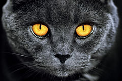 Closeup of beautiful luxury gorgeous grey british cat with vibra Royalty Free Stock Images