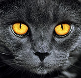 Closeup of beautiful luxury gorgeous grey british cat with vibrant eyes. Dark Background. Selective focus. Dramatic.