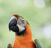 Closeup of beautiful macaw parrot Royalty Free Stock Images
