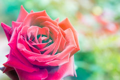 Closeup beautiful macro red rose Stock Photography