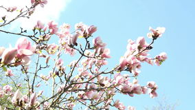 Closeup of beautiful magnolia in a garden with blue sky stock video