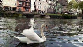 Closeup of beautiful majestic white swan floating stock video