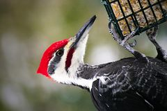 Male pileated woodpecker dryocopus pileatus danglingg on suet feeder. Closeup of beautiful male pileated woodpecker dryocopus pileatus dangling on a suet feeder Royalty Free Stock Photo