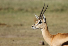 A closeup of a beautiful male Thomson's Gazelle Stock Photography