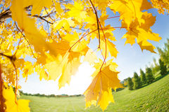 Closeup of beautiful maple leaves over sun and sky Royalty Free Stock Images