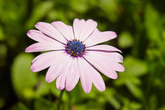 Closeup of beautiful Marguerite, Daisy flower Royalty Free Stock Photos