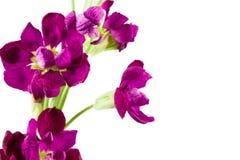 Beautiful matthiola flower isolated on white background royalty free stock images