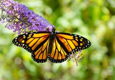 Closeup of a beautiful monarch butterfly with spread wings. A monarch butterfly, Danaus plexippus, with wings spread on a purple butterfly bush flower with bokeh royalty free stock photography