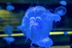 Closeup of beautiful moon jellyfish in aquarium. royalty free stock image