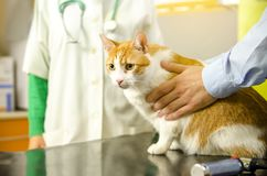 Beautiful orange cat on vet`s table. Closeup of beautiful orange cat on vet`s table, owner holding him on table stock image